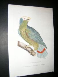 Shaw C1800's Antique Hand Col Bird Print. White Fronted Parrot